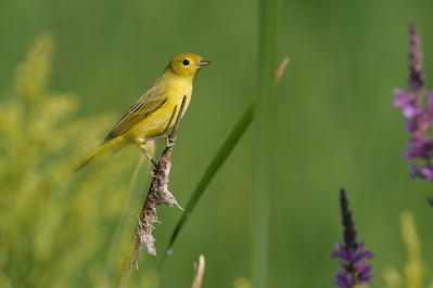Female Yellow Warbler [August; Park Point, Duluth, Minnesota]