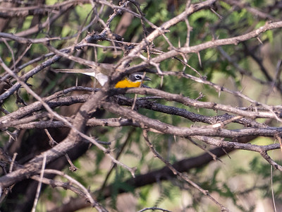 Yellow-breasted Chat San Pedro River southeast Arizona June 6-12 2019-1066700