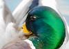 Waterfowl - Ducks, Geese & Swans :