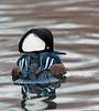 Hooded Merganser, Blair Pond