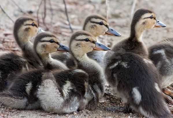 Ducklings - Horn Pond