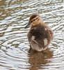Duckling - Horn Pond