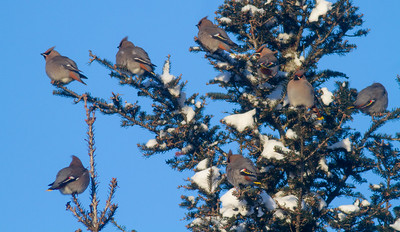 Bohemian Waxwing flock in spruce at minus 12 blue sky Homestead Road Duluth MNIMG_4696