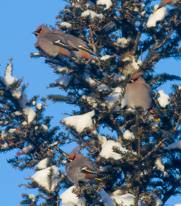 Bohemian Waxwing flock in spruce at minus 12 blue sky Homestead Road Duluth MNIMG_4698