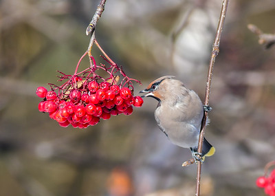 Bohemian Waxwing Mountain Ash corner of First Street and First Ave Two Harbors MN P1000290