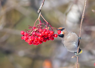 Bohemian Waxwing Mountain Ash corner of First Street and First Ave Two Harbors MN P1000307