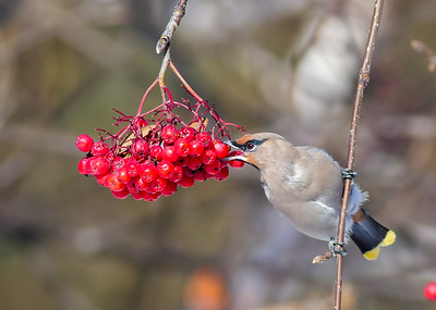 Bohemian Waxwing Mountain Ash corner of First Street and First Ave Two Harbors MN P1000315