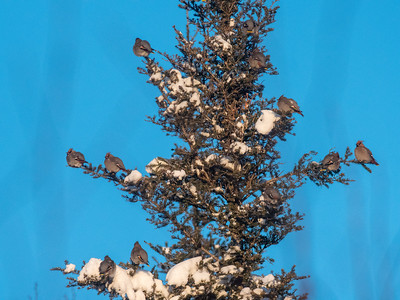 Bohemian Waxwing flock in spruce at minus 12 blue sky Homestead Road Duluth MNP1000639