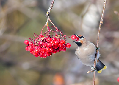 Bohemian Waxwing Mountain Ash corner of First Street and First Ave Two Harbors MN P1000301