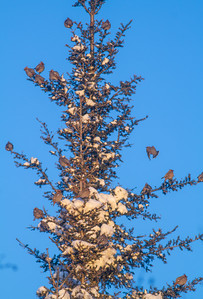 Bohemian Waxwing flock in spruce at minus 12 blue sky Homestead Road Duluth MNIMG_4685
