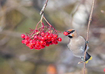 Bohemian Waxwing Mountain Ash corner of First Street and First Ave Two Harbors MN P1000303