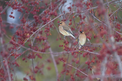 Cedar Waxwing flock in crabapples MN DNR Forestry building near I-35 Sandstone MN  IMG_0103