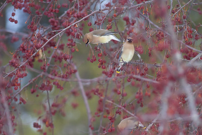 Cedar Waxwing flock in crabapples MN DNR Forestry building near I-35 Sandstone MN  IMG_0105