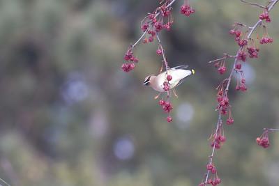 Cedar Waxwing flock in crabapples MN DNR Forestry building near I-35 Sandstone MN  IMG_0099