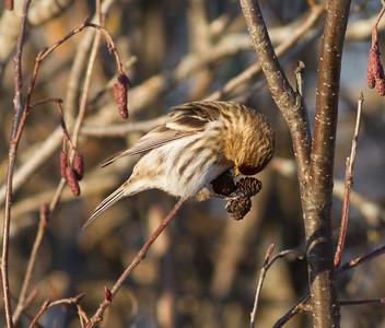 Common Redpoll feeding on alder cones catkins Stone Lake Road Sax-Zim Bog MNIMG_0416