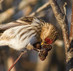 Common Redpoll feeding on alder cones catkins Stone Lake Road Sax-Zim Bog MNIMG_0421