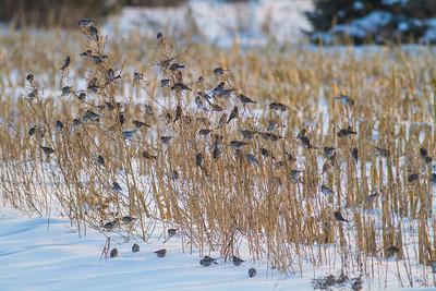 Common Redpoll Hoary Redpoll flock CR1 Wrenshall Carlton County MNIMG_5392