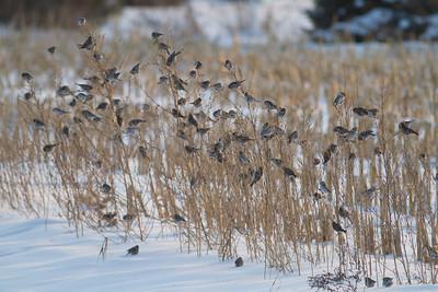 Common Redpoll Hoary Redpoll flock CR1 Wrenshall Carlton County MNIMG_5390