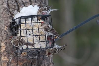 Common Redpolls suet feeder Skogstjarna Carlton County MN IMG_2356