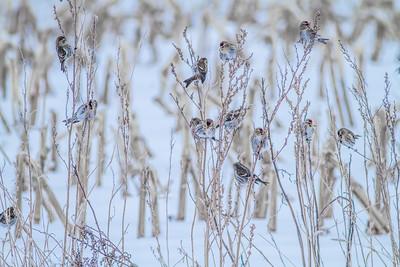 Common Redpoll Hoary Redpoll CR1 Wrenshall Carlton County MN-5398