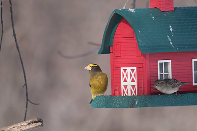 Evening Grosbeak Mary Lou's feeders CR444 Sax-Zim Bog MN DSC01960