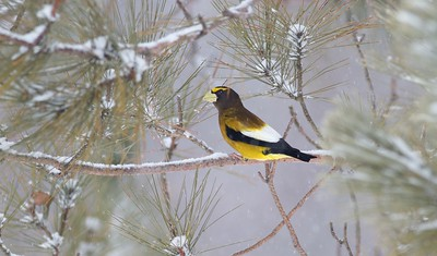 Evening Grosbeak Mary Lou's Feeders CR444 Sax-Zim Bog MN IMG_9550