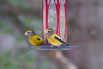 Evening Grosbeak Mary Lou's feeders Sax-Zim Bog MNIMG_2517