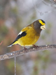 Evening Grosbeak Mary Lou's feeders CR444 Sax-Zim Bog MN IMG_3760