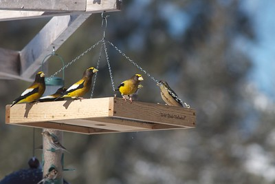 Evening Grosbeak Morse's feeders Sax-Zim Bog MN IMG_0074660