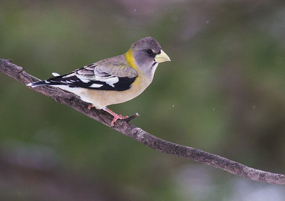 Evening Grosbeak Mary Lou's feeders Sax-Zim Bog MNIMG_2520