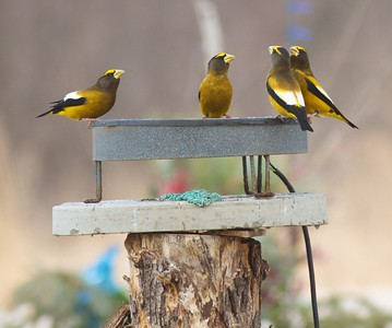 Evening Grosbeak group bird bath Mary Lou's feeders CR444 Sax-Zim Bog MN IMG_8234