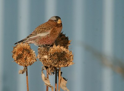 Minnesota gets a rare visitor from the West; Three Gray-crowned Rosy Finches winter in Carlton County [December; Cloquet, Minnesota]