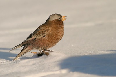 Normally a bird of the Rocky Mountains, three lost Gray-crowned Rosy Finches found their way to Fond du Lac Indian Reservation in northern Minnesota [December; Fond du Lac Reservation, Cloquet, Minnesota]