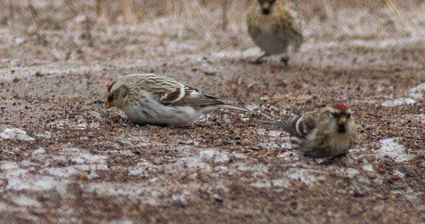 Hoary Redpoll with Common Redpoll flock CR6 near MN73 Carlton County MNIMG_0434