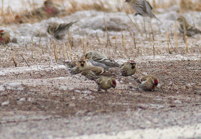 Hoary Redpoll with Common Redpoll flock CR6 near MN73 Carlton County MNIMG_0427