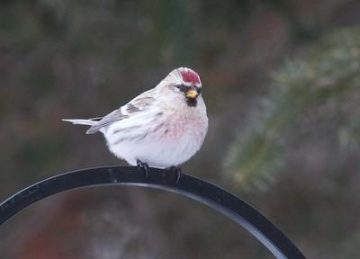 Hoary Redpoll Owl Ave Sax-Zim Bog MN IMG_0073197