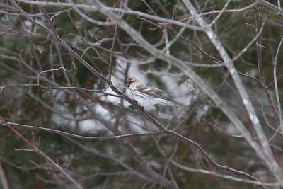 Hoary Redpoll Owl Ave feeders Sax-Zim Bog MN IMG_0073189