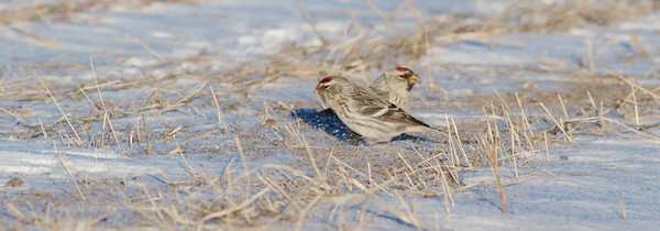 Hoary Redpoll and Common Redpoll flock Carlton Co MN IMG_5410