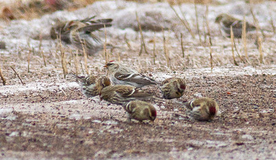 Hoary Redpoll with Common Redpoll flock CR6 near MN73 Carlton County MNIMG_0428