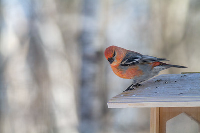 Pine Grosbeak at Welcome Center feeders Owl Avenue Sax-Zim Bog MN -1551