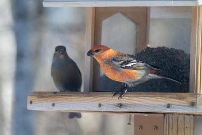 Pine Grosbeak at Welcome Center feeders Owl Avenue Sax-Zim Bog MN -1557