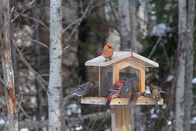 Pine Grosbeak at Welcome Center feeders Owl Avenue Sax-Zim Bog MN -1513