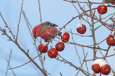 Pine Grosbeak eating apples Scenic 61 North Shore Duluth MN IMG_0261