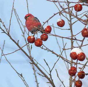 Pine Grosbeak eating apples Scenic 61 North Shore Duluth MN IMG_0262