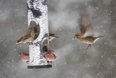 Purple Finch at thistle feeder Skogstjarna Carlton County MN-2-3