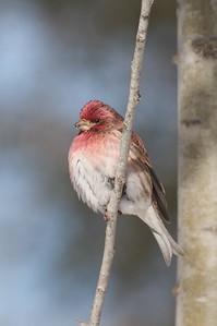 Purple Finch male Welcome Center Owl Avenue Sax-Zim Bog MN IMG_5581
