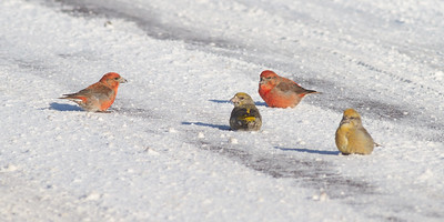 Red Crossbill group gritting on Hwy 1 just east of Hwy 2 Lake County MN -2581
