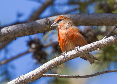 Red Crossbill male Yellowstone National Park WYIMG_6130