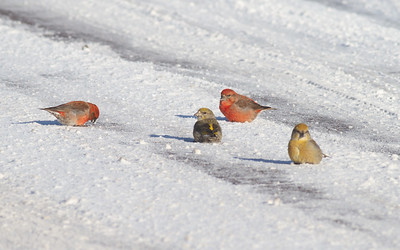 Red Crossbill group gritting on Hwy 1 just east of Hwy 2 Lake County MN -2582