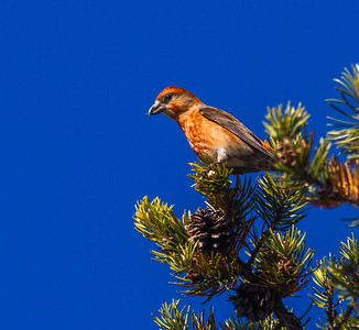 Red Crossbill male in Jack Pine Sawbill Trail Superior National Forest Cook County MN -2925